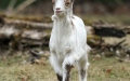 Photo: Missing goat en route to Manchester