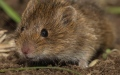 Photo: A helpful mouse tidies pensioners shed