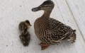 Photo: 8 trapped ducklings rescued from storm drain
