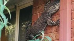 Photo: New species of lizard found in Australia