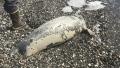 Photo: At least 60 ice seals found dead along west Alaska coast
