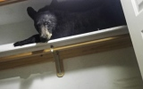 Photo: Black bear trapped in closet