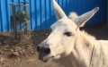 Photo: Donkey diva: Singing beast of burden becomes Indian sensation