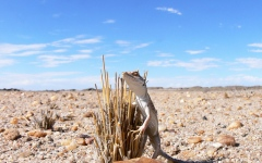 Photo: Lacertid lizards may be unable to cope with climate change