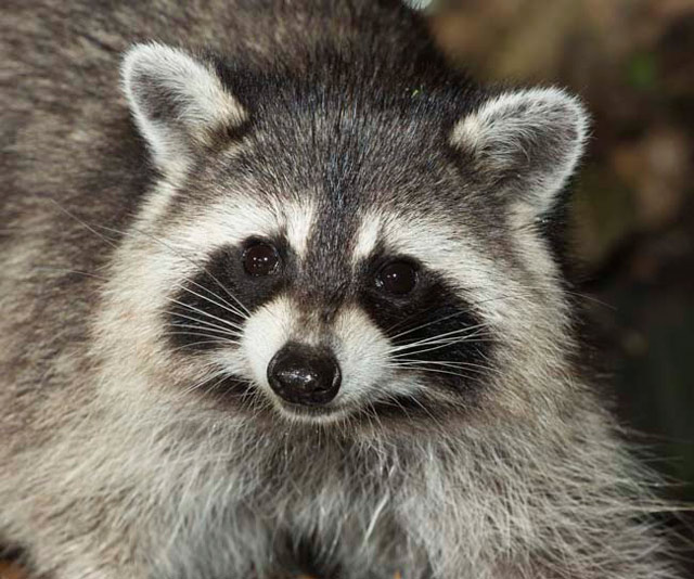 Raccoons shelter from rain in university library