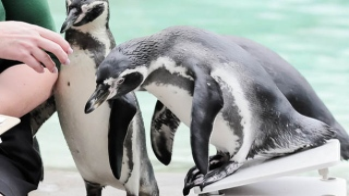 Photo: Penguin swims from New Zealand to Australia