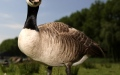 Photo: Taxi broken into - by a goose