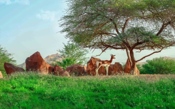Photo: Al Ain Zoo leads efforts to develop Dama gazelle conservation strategy
