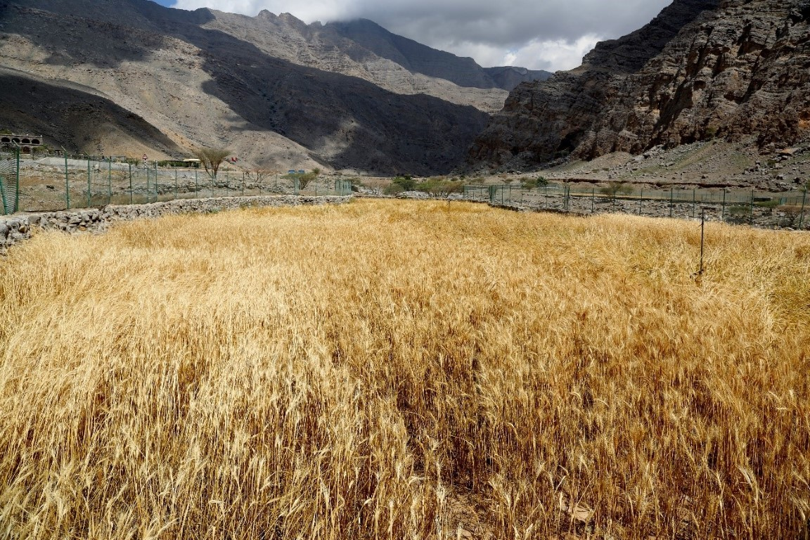 Photo: RAK farms may preserve ancient agricultural heritage, study suggests