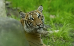 Photo: Tiger at New York zoo tests positive for COVID-19